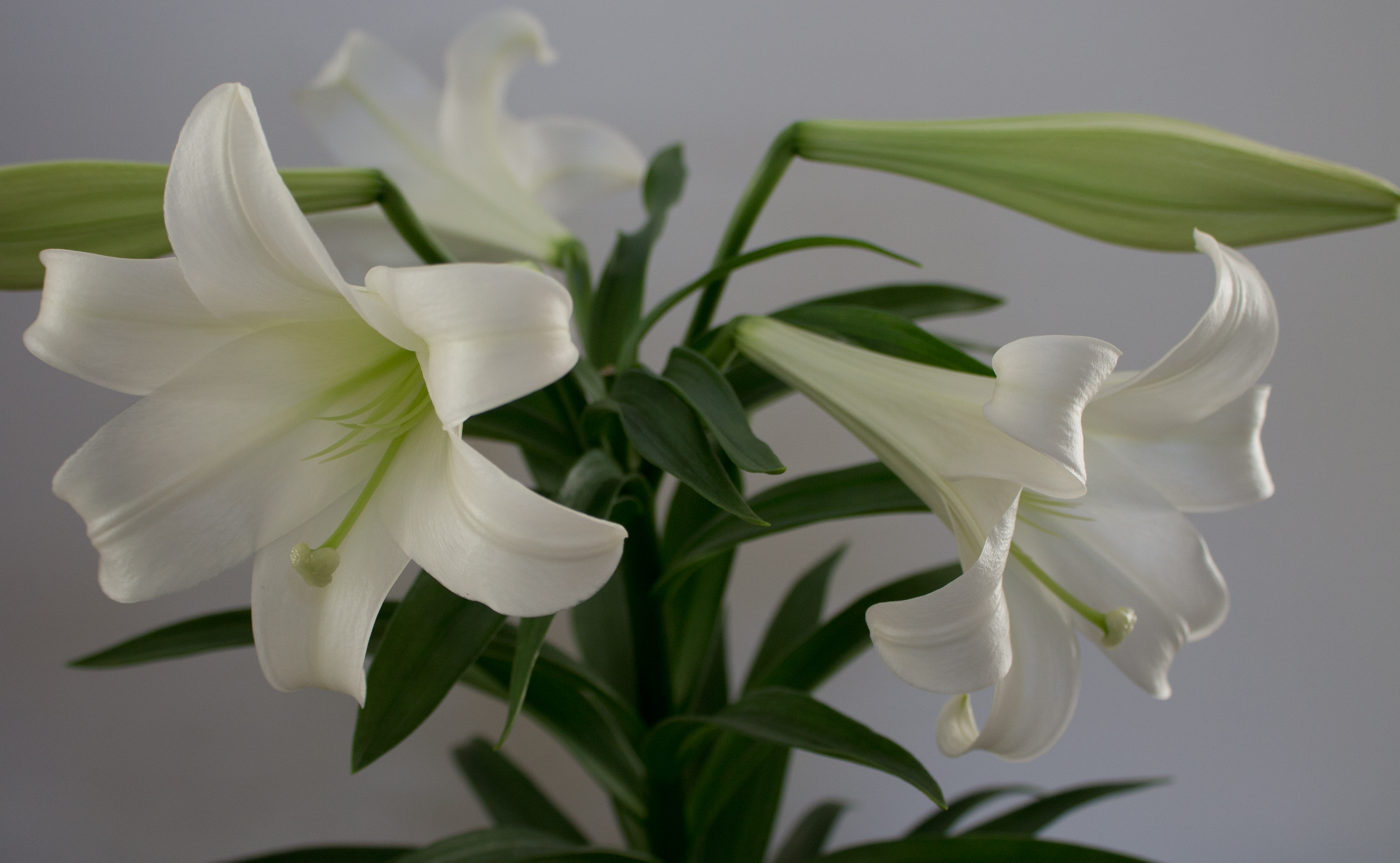 Avondale United Methodist Church Easter Lily